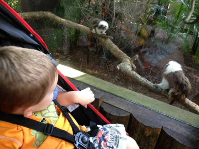 checking out the pygmy monkeys